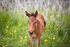 Foal on meadow. Walking foal on meadow at summer time stock image