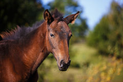 Foal on meadow. Walking foal on meadow at summer time royalty free stock photos