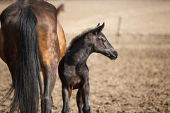 Foal on the meadow Stock Image