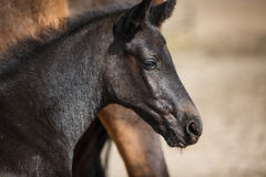 Foal on the meadow Royalty Free Stock Photos