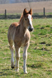 Foal in meadows. Foal of 4 months old Royalty Free Stock Images