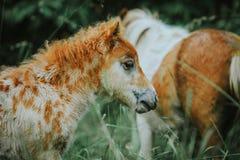 Mini appaloosa foal Stock Images