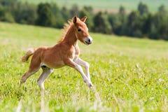 Foal mini horse Falabella. On grass Royalty Free Stock Photos