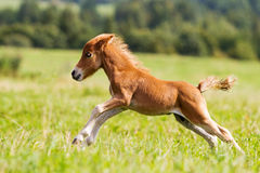 Foal mini horse Falabella. On grass Royalty Free Stock Images