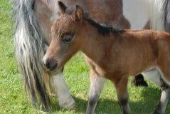 Foal miniatura Immagine Stock Libera da Diritti
