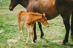 Foal with Mom Royalty Free Stock Images