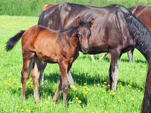Foal with mom in the pasture Stock Photos
