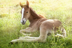 Foal in the morning sun. Two days old quarter horse foal laying in the morning grass Royalty Free Stock Images