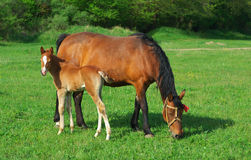 Foal and mother Stock Image