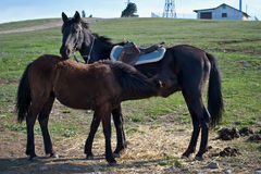 Foal with mother Stock Image