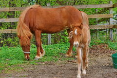 Foal with mother. Stock Photos