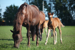 Foal with mother. Grazing on meadow royalty free stock photo