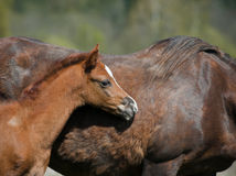 Foal with mother Royalty Free Stock Photography