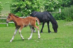 Foal and mother in a field Royalty Free Stock Photos