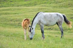 Horse with foal in the meadow Royalty Free Stock Images