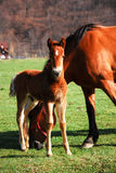 Foal with mother Royalty Free Stock Images