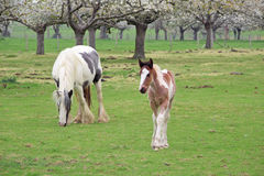 Foal and mother Royalty Free Stock Photos