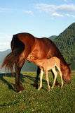 Foal with mum a horse Royalty Free Stock Photography