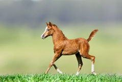 Foal on nature Royalty Free Stock Photos