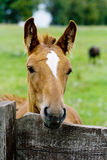 Foal near a fencing Royalty Free Stock Photos
