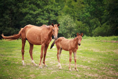 Foal near its mother. Portrait of the foal with mother at summer time Stock Images