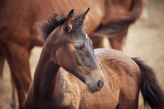 Foal near its mother. Portrait of the foal near its mother at summer time Royalty Free Stock Image