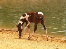 Foal Near Water Royalty Free Stock Images