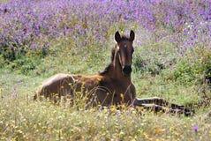 Foal nei campi fotografie stock