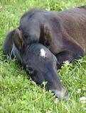 Foal nel campo del trifoglio Immagini Stock