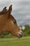 Foal nel profilo immagini stock