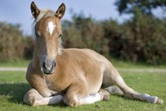 Foal, New Forest Stock Photos