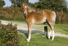 Foal at New Forest National Park, UK stock photo