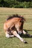 A foal, New Forest Stock Photography