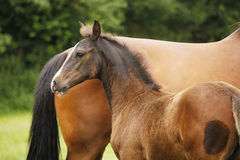 Foal next to mare Royalty Free Stock Photos