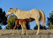 Foal nursing from his Mother Stock Image