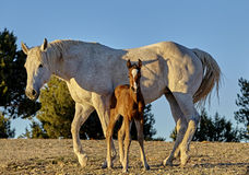Foal nursing from his Mother Royalty Free Stock Photo