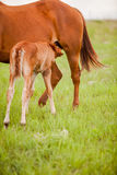 Foal nursing in pasture Royalty Free Stock Photos