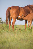 Foal nursing in pasture Royalty Free Stock Images