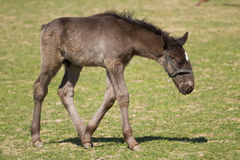 Foal of Old Kladrub black horse Royalty Free Stock Photos