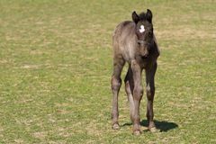 Foal of Old Kladrub black horse Royalty Free Stock Photography