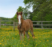 Foal in a paddock Stock Photos