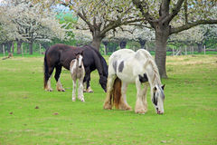 Foal and parent horses Stock Image