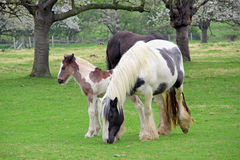 Foal with parent horses Royalty Free Stock Photography