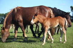 Foal with parents. Grazing on meadow royalty free stock photography