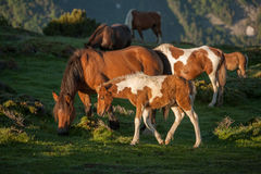 Foal on pasture. Horses on pasture, snowy hill, mountains, golden, stained foal, sunrise Stock Photography