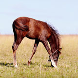 Foal on a pasture. Stock Photography
