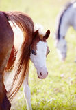Foal on a pasture with other horses. Royalty Free Stock Photography