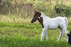 Foal on pasture Stock Image