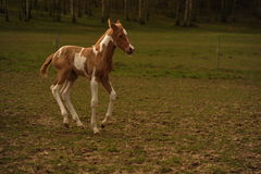 Foal on the pasture Royalty Free Stock Photography