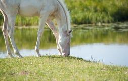 Foal Perlino akhal-teke Στοκ εικόνα με δικαίωμα ελεύθερης χρήσης